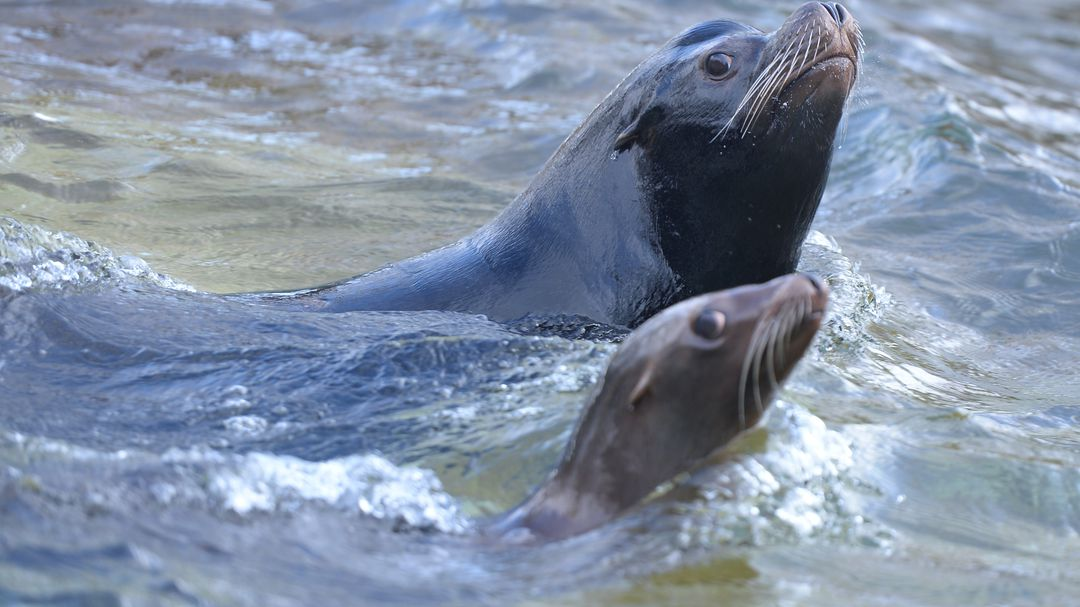 For the Sea Lion Family: Road will be closed in New Zealand for one month
