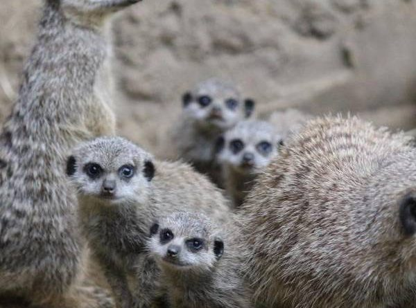 Meerkat offspring keep the family busy