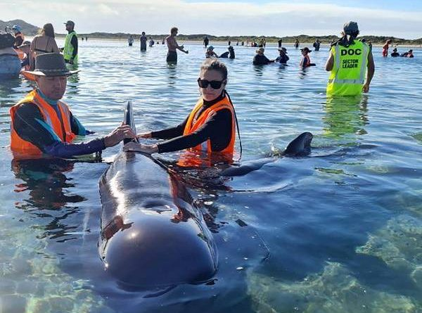 Pilot whales released after being stranded off New Zealand