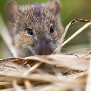 About mice: The first human transmission of the Tula virus was reported in Germany
