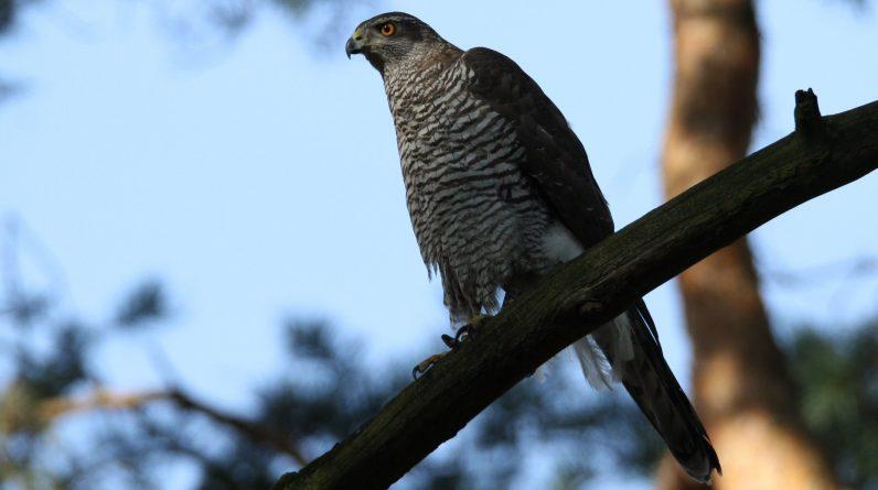 Habicht und Co creeping poisoning threatens birds of prey