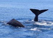 Sperm whales in Dolph Taranto