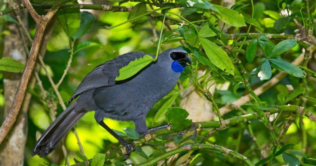 New Zealand saves Cocaku from extinction