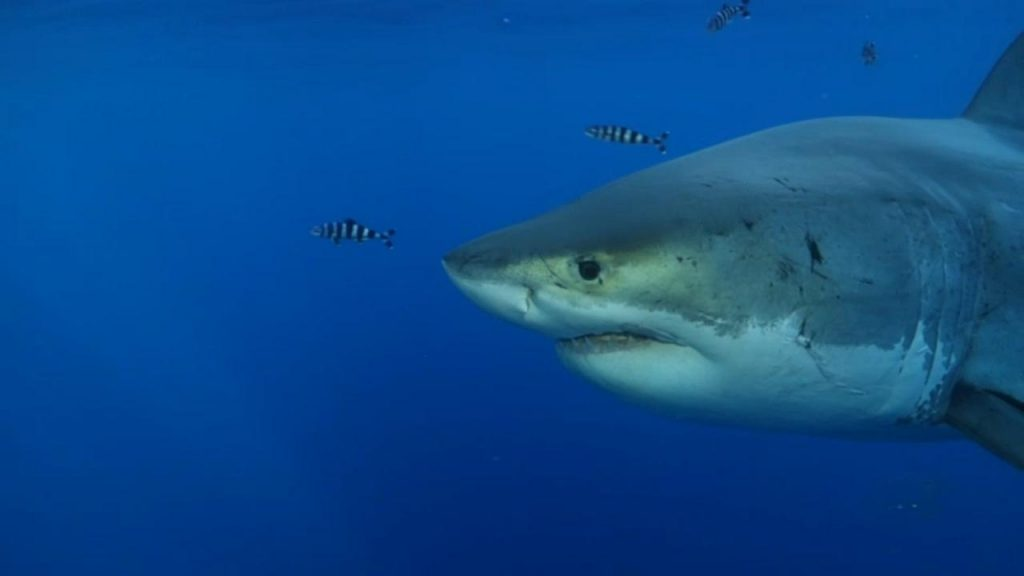 An incredible migration to Europe from Nukumi, the largest white shark seen in the North Atlantic Ocean