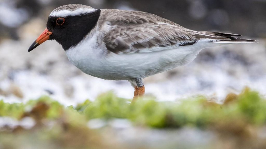 Animal rights activists want to save rare birds - almost all of them die in the process