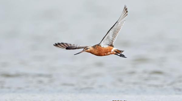 Common Godwit breaks the world record in endurance flight