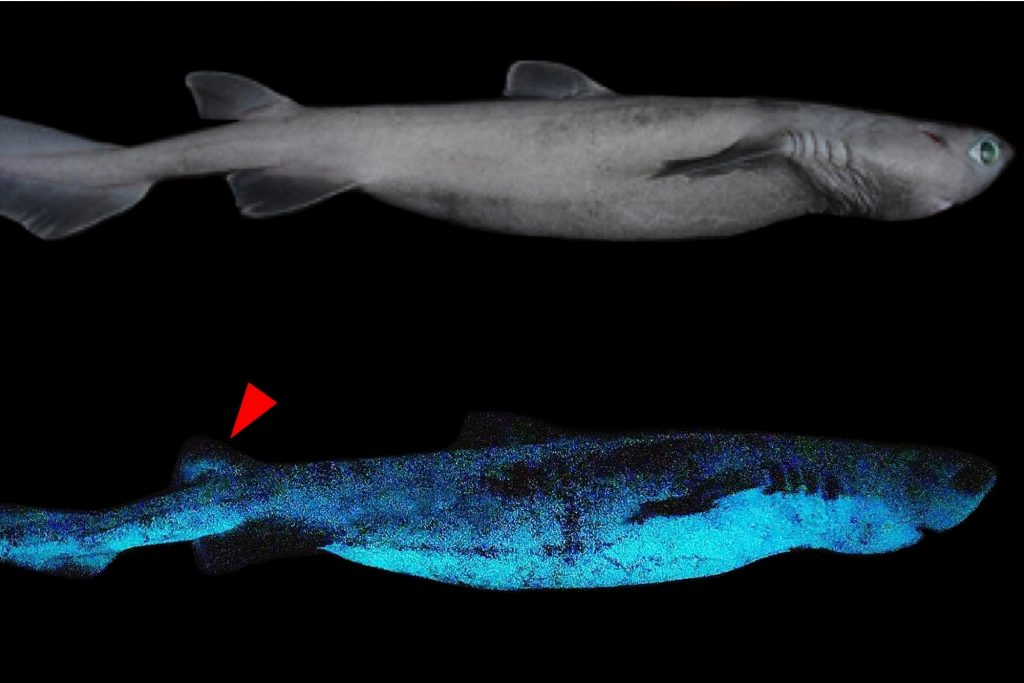 Discover luminous sharks in the depths of the Pacific Ocean