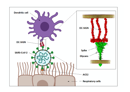 SARS-CoV2 capture by DC-SIGN and / or L-SIGN receptors, which promotes virus-permitting trans-cellular infection