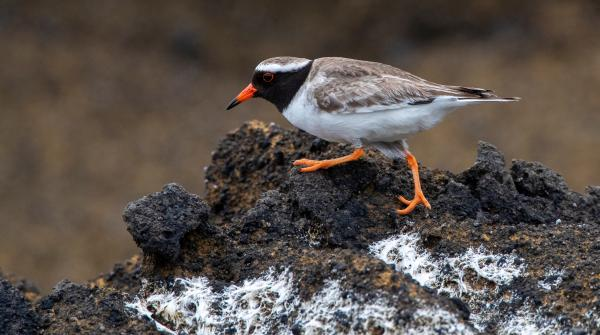 Rare birds in New Zealand are disappearing in an experiment with animal welfare