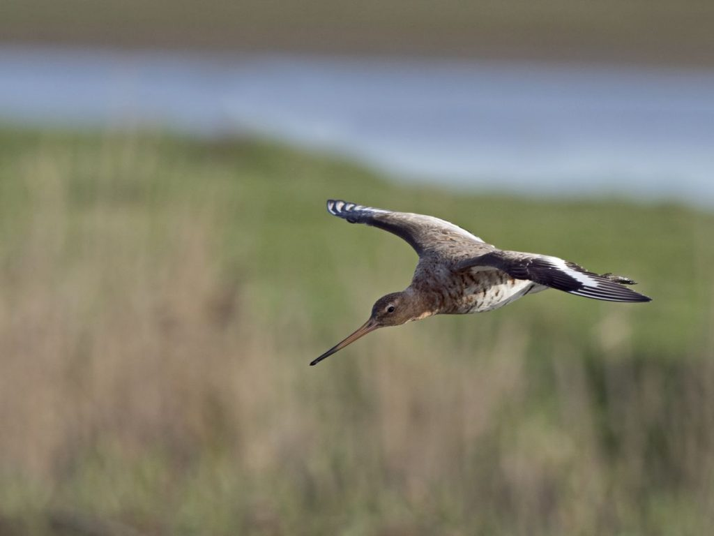 The extraordinary flight of a bird that flew from Alaska to New Zealand in 11 days without a rest |  Expert Zone |  Climate and environment