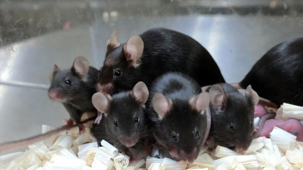 After 6 years in space, freeze-dried sperm gives birth to baby mice