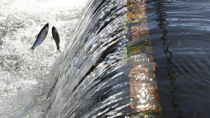 Plusieurs millions de saumons sont ainsi sauvés.