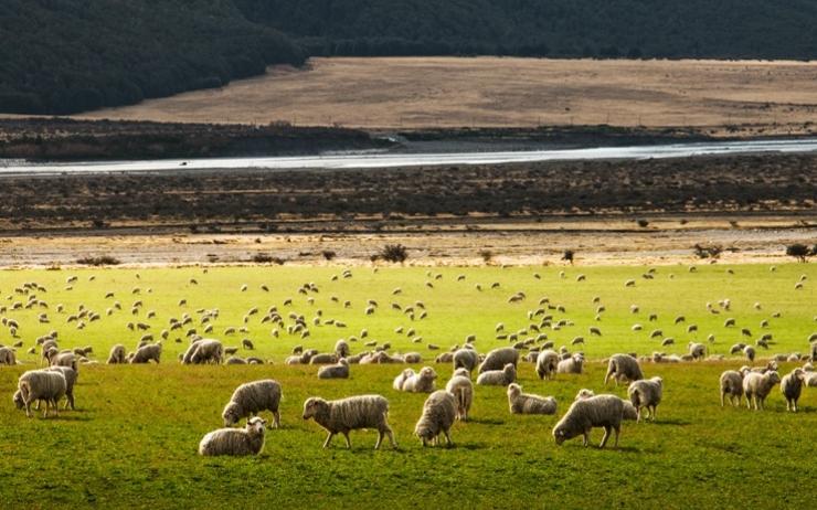 champ avec des moutons en Nouvelle-Zélande