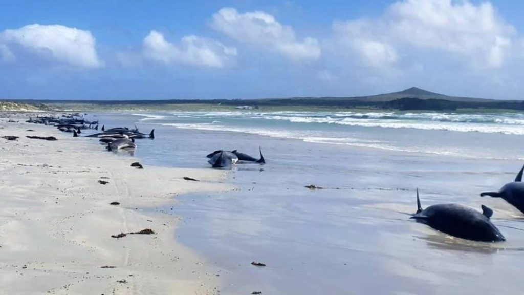 New Zealand: 100 pilot whales stranded and died