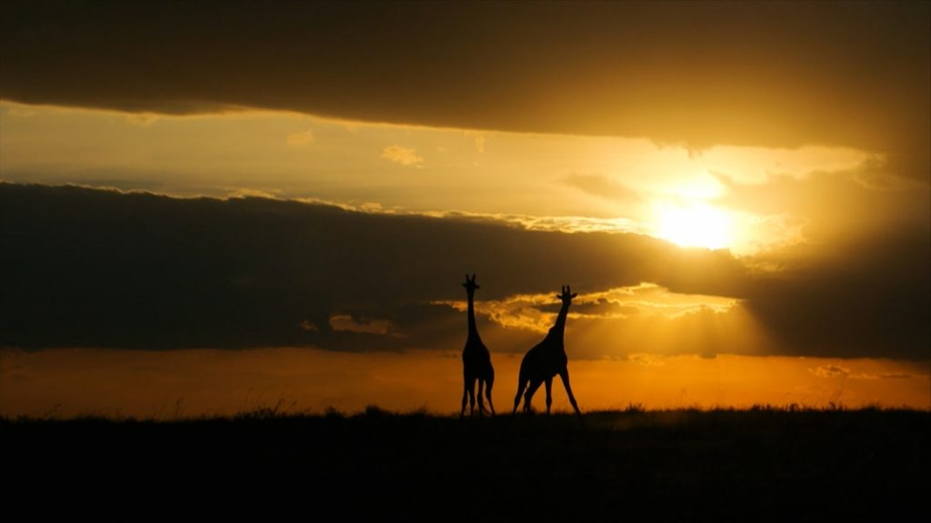 Giraffes and bats in the green screen |  Nature Film Festival NDR.de - News