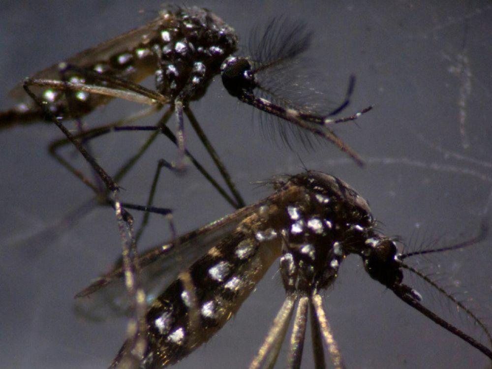 Un couple de moustiques tigre (Aedes aegypti)