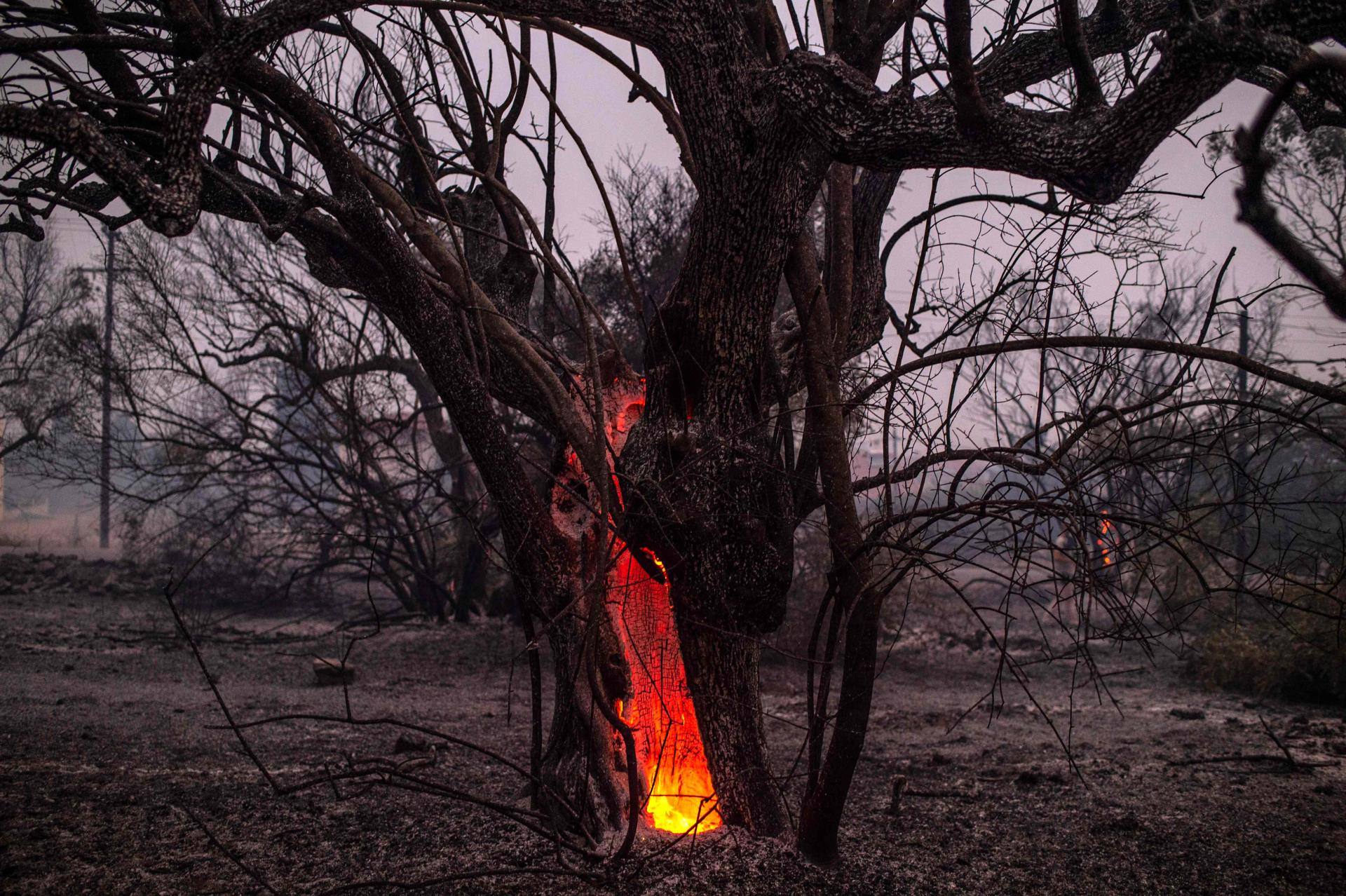 A tree burns near the village of Pfeki, on the island of Evia, August 9, 2021.