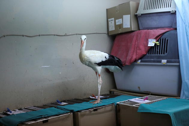 A stork injured in the fires is taken to the shelter of the Anima Animal Welfare Society in Athens on August 8, 2021.