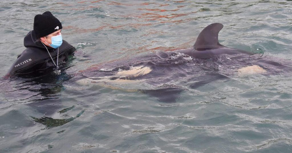 New Zealand: Concern for stranded baby orca