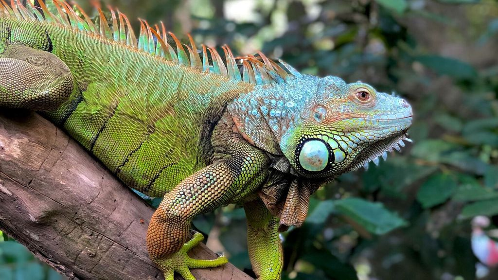 Embarrassed !  A yoga teacher was violently attacked by an iguana while sitting on the beach