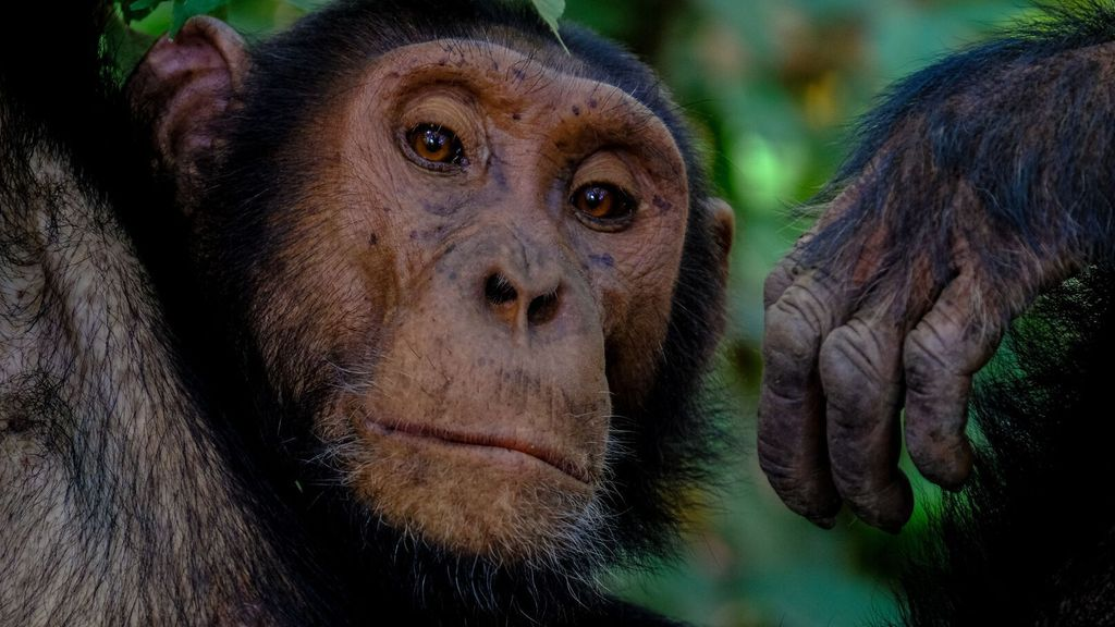 Woman banned from zoo for unhealthy relationship with chimpanzees
