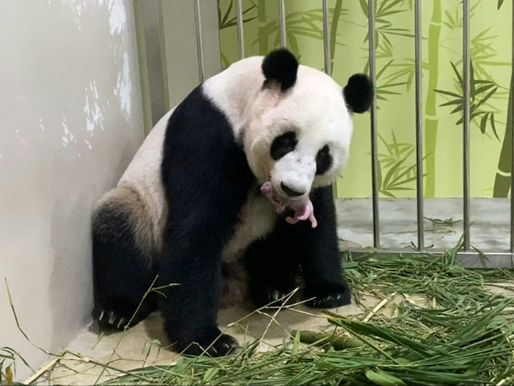 A panda was born in a Singapore zoo after artificial insemination
