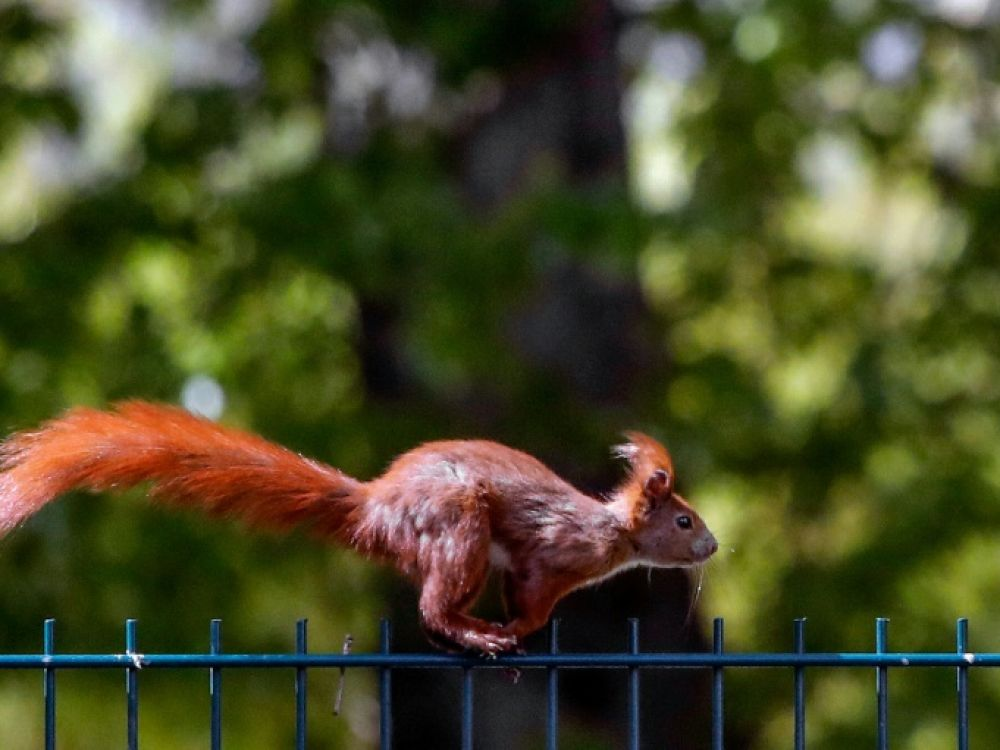 Acrobats and squirrels use parkour to get around (study)