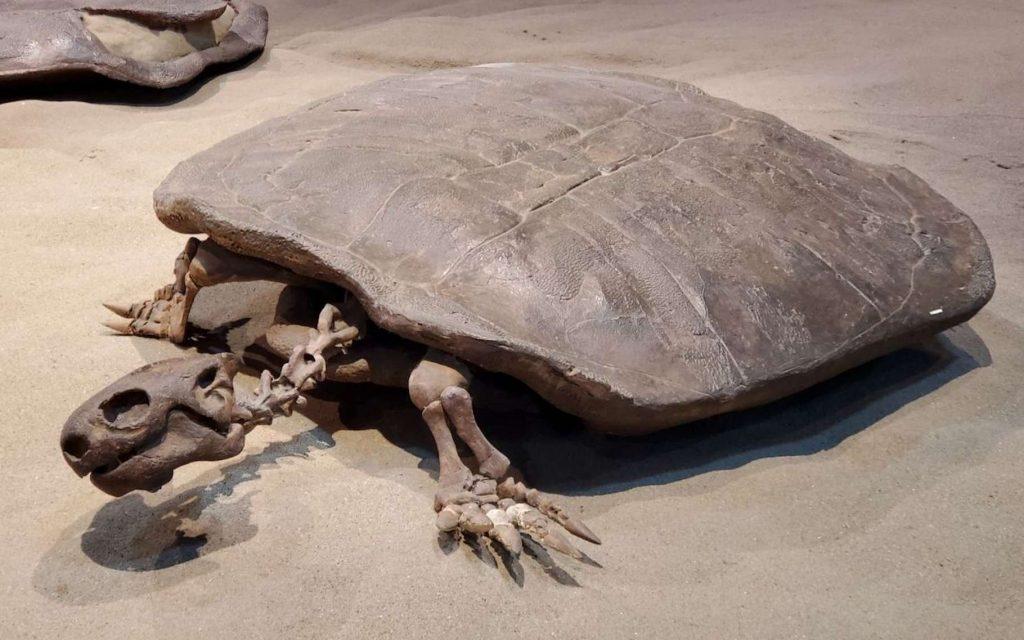 Dans un œuf de tortue fossilisé, des chercheurs de l'université de Wuhan (Chine) sont parvenus à identifier une tortue terrestre géante connue sous le nom de Yuchelys nanhsiungchelyids. Ici un exemplaire fossilisé trouvé au Canada. © Royal Tyrrell Museum
