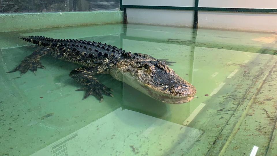 Video: Zoo visitor jumps on crocodile to help nurse