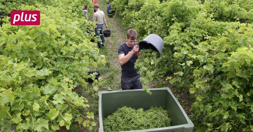 "Why ""gewwooft"" in Gau-Heppenheimer vineyards"