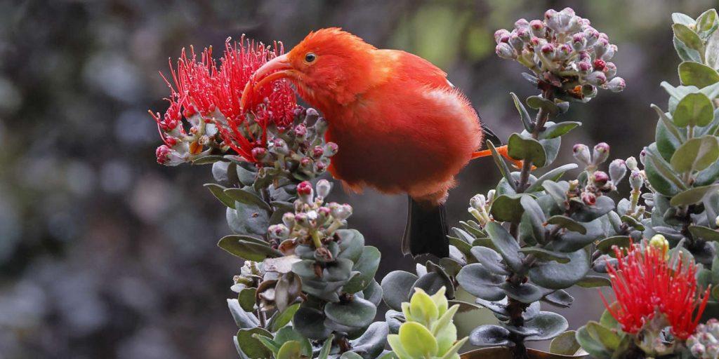 In Hawaii, birds die